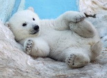 A Polar Bear Cub Lies In The S...