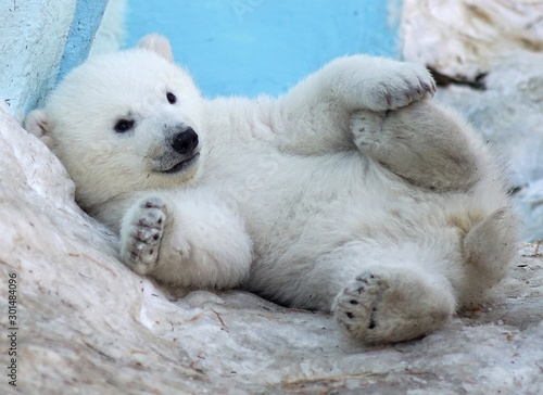 A polar bear cub lies in the snow on its back. Wallpaper Mural