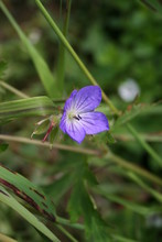 A Dainty Purple Flower