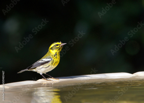Cuadros en Lienzo One male Townsend's warbler (Setophaga townsendi), a small songbird of the New World warbler family, perched on the side of a bird bath