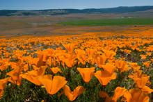Field Of Golden Poppy Flowers ...