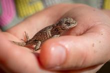A Curious Little Girl Holds An Eastern Fence Lizard. Piedmont Of North Carolina.