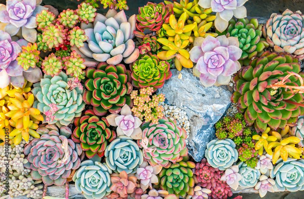 Fototapeta colorful Rectangular arrangement of succulents; cactus succulents in a planter