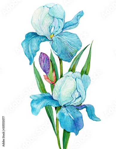 Fotobehang Iris blue iris flowers .watercolor illustration on isolated white background