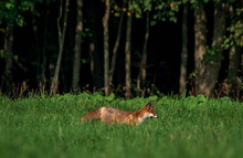 Young Fox In Forest Meadow Eat...