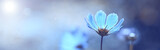 Fototapeta Kwiaty - Blue beautiful flower on a beautiful toned blurred background, border. Delicate floral background, selective soft focus.