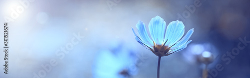 Blue beautiful flower on a beautiful toned blurred background, border. Delicate floral background, selective soft focus.