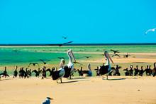 Pied Cormorants & Pelicans - Monkey Mia - Western Australia