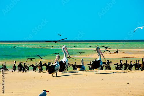 Pied Cormorants & Pelicans - Monkey Mia - Western Australia Canvas Print