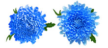 Pair Of Blue Chrysanthemums