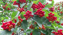 Red Hawthorn Berries Close Up