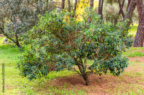 Photo arbutus tree loaded with fruits in the park of the Casa de Campo in Madrid