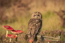 Tawny Owl ;Strix Aluco,