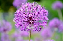 Ornamental Onion Allium Closeup On The Background Of The Garden.