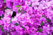 canvas print picture - Beautiful flowering bougainvillea flower nature for background
