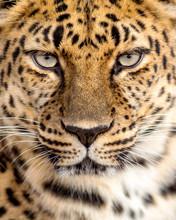 Close Up Portrait Of A Leopard...