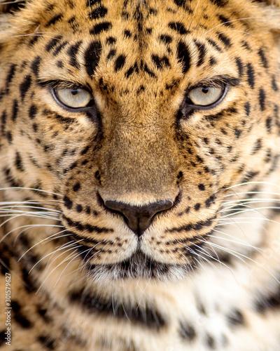 Fototapeta close up portrait of a leopard making eye contact