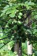 canvas print picture - Papaya - Baum