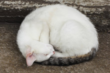 Curled Up White Cat Sleeps Deep On The Stairs
