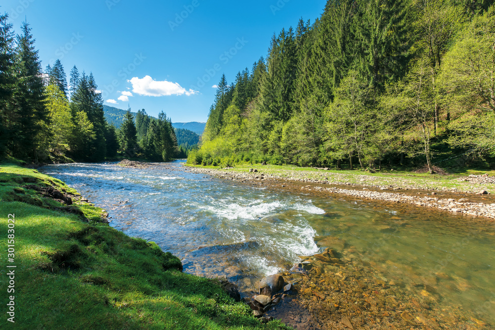 Fototapety, obrazy: rapid mountain river in spruce forest. wonderful sunny morning in springtime. grassy river bank and rocks on the shore. waves above boulders in the water. beautiful nature scenery