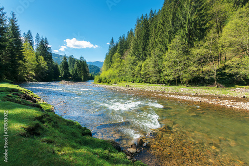 Fototapeta rapid mountain river in spruce forest. wonderful sunny morning in springtime. grassy river bank and rocks on the shore. waves above boulders in the water. beautiful nature scenery obraz