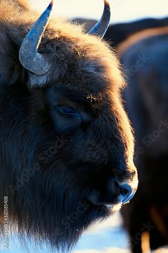 Valokuvatapetti Aurochs bison in nature / winter season, bison in a snowy field, a large bull bu