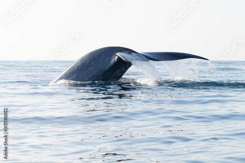 Blue Whale Tail with Water Dripping Off