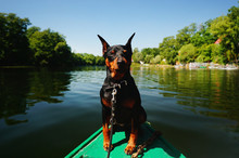 Happy Miniature Pinscher Sits Comfortably On The Bow Of Boat With Closed Eyes Enjoying The Sun. Travelling With Dogs.