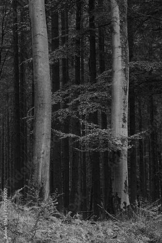 Montage in der Fensternische Darknightsky Fagus sylvatica forest