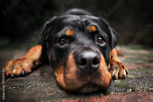 Photo rottweiler dog lying down outdoors close up