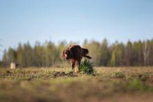 Irish Setter Dog Peeing On Grass Tuft On Field