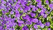 canvas print picture - flowers purple