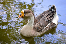 Closeup Swan Goose (Anser Cygn...