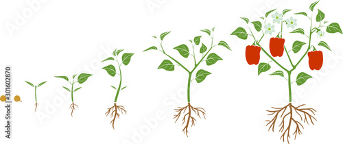 Fototapeta Life cycle of pepper plant. Growth stages from seed to flowering and fruiting plant with ripe red peppers isolated on white background obraz