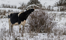 Holstein Cow In A Snow Covered Winter Field