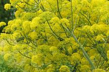 Ferula Communis Or Giant Fennel Yellow Plant