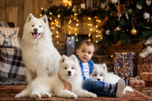 Little Toddler Boy Sitting On Floor Under Decorated Christmas Tree With Three White Samoyed Dogs. Gift Boxes And Lights In Background. Portrait Of Child With Pets