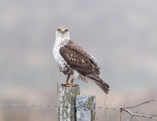 Ferruginous Hawk Hunting In Point Reyes National Seashore, California, USA