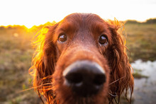 Pensive Wary Irish Setter Dog ...