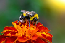 Bee Collects Flower Nectar Of Marigold