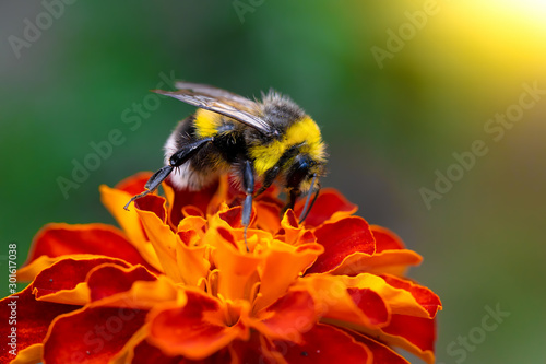 Bee collects flower nectar of marigold Canvas Print