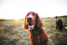 Pensive Wary Irish Setter Dog In Meadow During Sunset