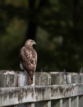 Red-tailed Hawk On A Fence Por...