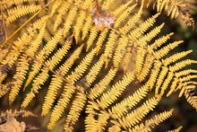 Close Up Of A Autumn Fern Leaf...