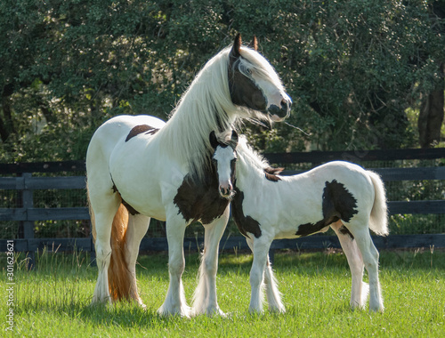 Fototapeta Gypsy horse mare and foal touch obraz