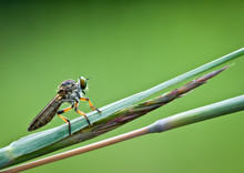 Robber Fly (Asilidae Family) P...