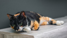 Calico Cat Lying On A Wooden Surface With Large Colorful Eyes.