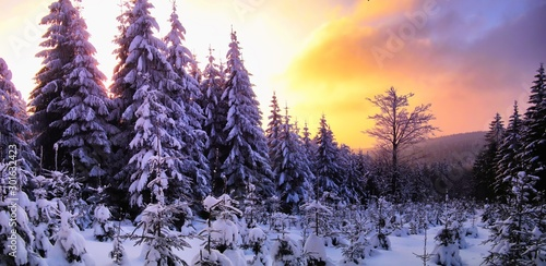 Spoed Fotobehang Aubergine Beautiful scenic winter landscape with the snow covered spruce trees,mountain forest at winter evening, sunset,sunlight, sky and clouds, relaxing nature. Can be used as christmas photo, panoramic. .