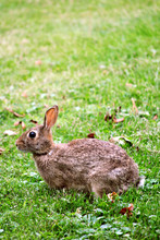 Young Cottontail Rabbit Feedin...