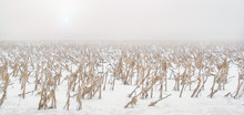 Hoar Frost Coats The Dried Stalks Of Corn In A Vast Snow-covered Field Of Corn Beneath A White Cloudy Sky And Weak Sun.
